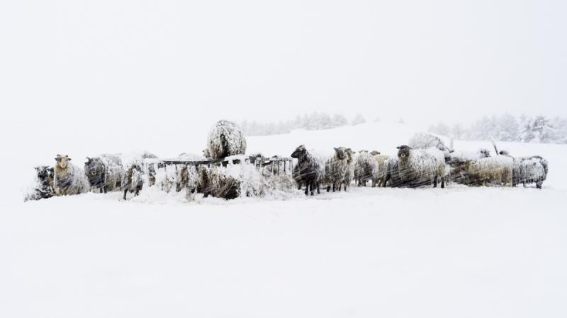 Hard Sheep! door Groninger landschapsfotograaf Harmen Piekema